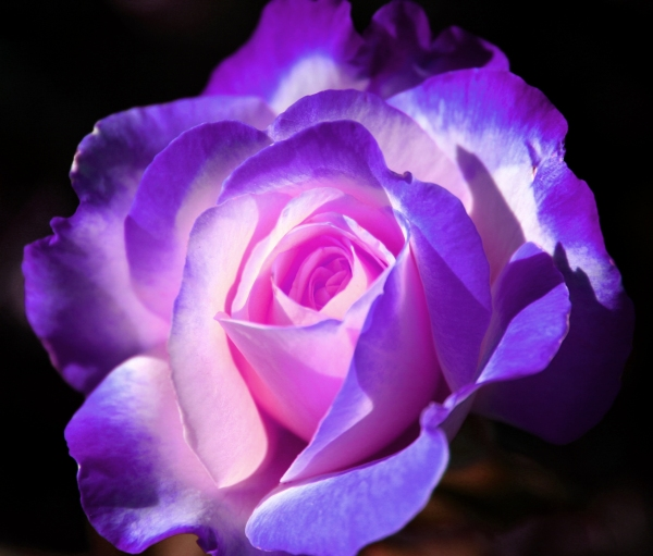 Purple_Rose_by_LadyLuna22